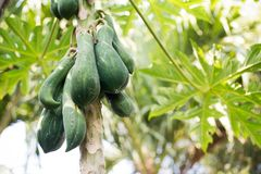 Metta a fuoco la frutta della papaia sull'albero dal fondo di vista dal basso Fotografia Stock
