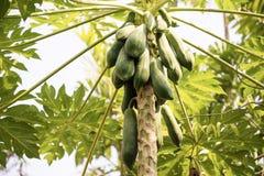 Metta a fuoco la frutta della papaia sull'albero dal fondo di vista dal basso Immagine Stock