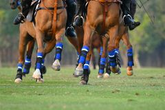 metta a fuoco la gamba del cavallo nella partita di polo fotografia stock libera da diritti