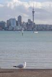 Metta a fuoco sull'uccello solo del gabbiano con fondo vago di Auckland Immagini Stock Libere da Diritti