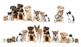 Metta gli animali domestici Fotografia Stock