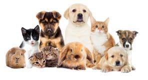 Metta gli animali domestici fotografie stock libere da diritti