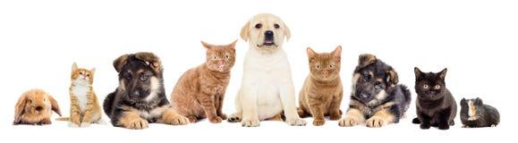Metta gli animali domestici fotografia stock libera da diritti