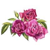 Metta gli elementi dell'acquerello delle rose Il rosa di giardino della raccolta fiorisce, foglie, rami Illustrazione botanica is Fotografia Stock Libera da Diritti