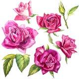 Metta gli elementi dell'acquerello delle rose Il rosa di giardino della raccolta fiorisce, foglie, rami Illustrazione botanica is Immagini Stock Libere da Diritti
