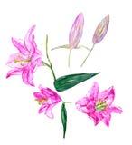 Metta i fiori del giglio Fotografie Stock Libere da Diritti