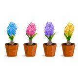 Metta il fiore del giacinto in un vaso Fotografia Stock