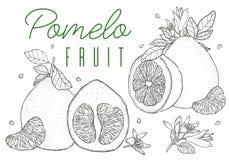Metta la frutta disegnata a mano del pomelo di vettore Stile d'annata, contorno nero Immagine Stock