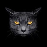 Metta la museruola ad un gatto su un fondo nero Immagine Stock