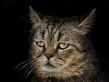 Metta la museruola al gatto del primo piano scozzese della razza sul nero fotografia stock libera da diritti