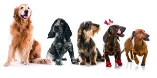 Metta le foto delle razze differenti dei cani isolate Immagine Stock