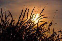 Metta le piume all'incandescenza del backlitght dell'erba di missione o del pennisetum contro Fotografie Stock