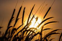 Metta le piume all'incandescenza del backlitght dell'erba di missione o del pennisetum contro Fotografie Stock Libere da Diritti