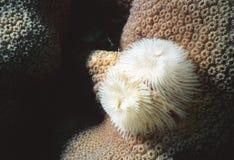Metta le piume allo spolveratore sul corallo della stella Immagini Stock