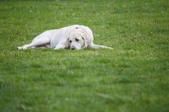 Mettendo sull'erba verde, un laboratorio sembra calmo e rilassato fotografia stock libera da diritti