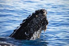 Mettere i calzoni della balena di Humpback Fotografia Stock Libera da Diritti