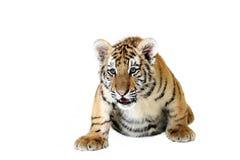 mettez bas le tigre Image stock