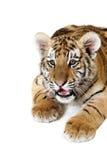 mettez bas le tigre sibérien Image libre de droits