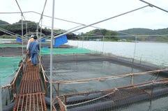 Mettez en cage la culture des poissons d'esturgeon dans le lac lam de Tuyen Plusieurs espèces des esturgeons sont moissonnées pou Photos stock