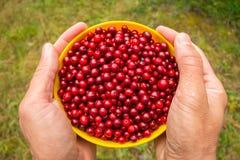 Mettez en forme de tasse avec les prises rouges de canneberges de baies dans des mains photo libre de droits