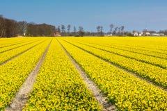 Mettez en place avec des rangées des fleurs jaunes de jonquille fleurissant au printemps, maison, ciel bleu Photographie stock libre de droits