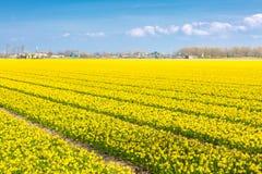 Mettez en place avec des rangées des fleurs jaunes de jonquille fleurissant au printemps, maison, ciel bleu image libre de droits