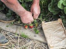 Mettez en place avec la récolte de fraise, mains sélectionnant des fraises, concept d'agriculture biologique image libre de droits