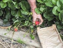 Mettez en place avec la récolte de fraise, mains sélectionnant des fraises, concept d'agriculture biologique photographie stock