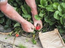 Mettez en place avec la récolte de fraise, mains sélectionnant des fraises, concept d'agriculture biologique photos libres de droits