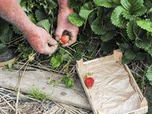 Mettez en place avec la récolte de fraise, mains sélectionnant des fraises, concept d'agriculture biologique images stock