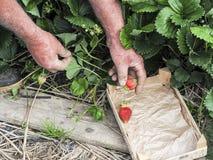 Mettez en place avec la récolte de fraise, mains sélectionnant des fraises, concept d'agriculture biologique images libres de droits