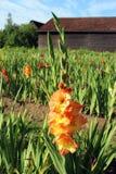 Mettez en place avec les gladioli colorés multi, grange à l'arrière-plan Image stock