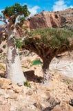 Mettez l'arbre et l'arbre en bouteille de Dragon Blood s'élevant sur les roches, île de Socotra, Yémen Image libre de droits