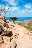 Mettez l'arbre et les arbres en bouteille de Dragon Blood s'élevant sur les roches, île de Socotra, Yémen Image stock