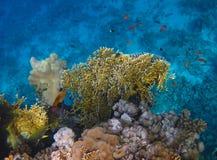 Mettez le feu au corail sur le récif en Mer Rouge Photographie stock