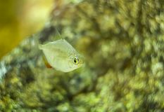 Metynnis argenteus hypsauchen aquarium fish. Silver dollar fish stock photo