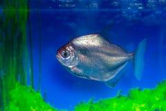 Metynnis silver, herbivorous piranha, fish-dollar Metynnis argenteus stock photos
