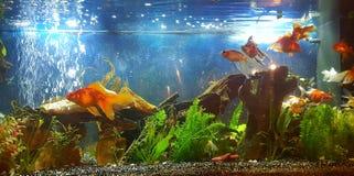 Meu aquário com o peixe dourado da cauda do véu Imagem de Stock Royalty Free