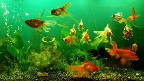 Meu aquário com o peixe dourado da cauda do véu Fotos de Stock Royalty Free