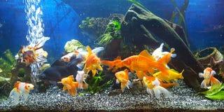 meu aquário com o peixe dourado do teil do vail Fotografia de Stock