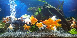 meu aquário com o peixe dourado do teil do vail Foto de Stock