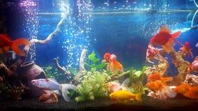 Meu aquário com os peixes dourados do teil do vail Imagem de Stock Royalty Free