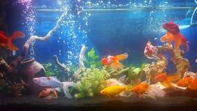Meu aquário com os peixes dourados do teil do vail Fotografia de Stock Royalty Free