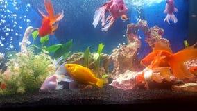 Meu aquário com os peixes dourados do teil do vail Foto de Stock Royalty Free