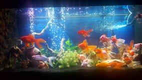 Meu aquário com os peixes dourados do teil do vail Foto de Stock