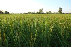 Meu arroz, minha vida Foto de Stock