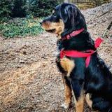 Meu cão burmese bonito da montanha Fotos de Stock Royalty Free