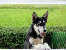 Meu cão de puxar trenós fotos de stock royalty free