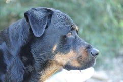 Meu cão favorito - grande Imagens de Stock