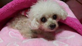 Meu cão pequeno Fotos de Stock